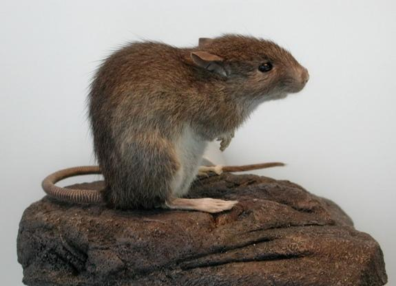 The Polynesian rat (also known as kiore) is somewhat smaller than its Europeans counterparts and, according to ethnographic accounts, was tasty to eat. New research reveals that they formed an important part of the diet for the inhabitants of E