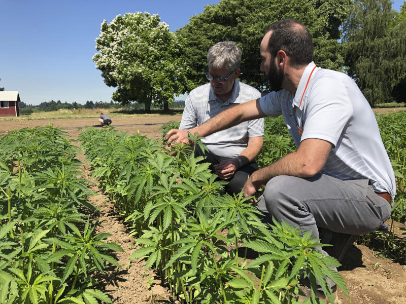 In this Thursday, June 13, 2019, photo, Jay Noller, director and lead researcher for Oregon State University's newly formed Global Hemp Innovation Center, left, inspects young hemp plants with Lloyd Nackley, a plant ecologist with the Oregon State University Extension Service, at one of the university's hemp research stations in Aurora, Ore. (AP Photo/Gillian Flaccus)