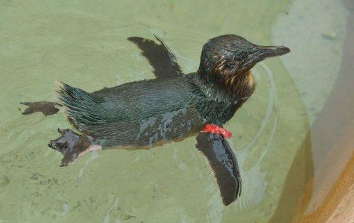 Dirk, a fairy penguin stolen from an Australian marine park, has been safely returned