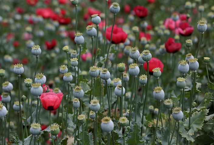 <p>Poppy plants are shown in a field before they are destroyed during a military operation in the municipality of Coyuca de Catalan, Mexico, April 18, 2017. (Photo: Henry Romero/Reuters) </p>