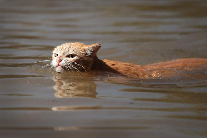 <p>A cat tries to find dry ground around an apartment complex after it was inundated with water following Hurricane Harvey on August 30, 2017 in Houston, Texas. (Photo: Scott Olson/Getty Images) </p>