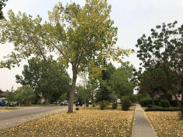 Yellow leaves, often seen as an early sign if fall, are signs of a lack of moisture, says a Calgary arborist.  (Colleen Underwood/CBC - image credit)