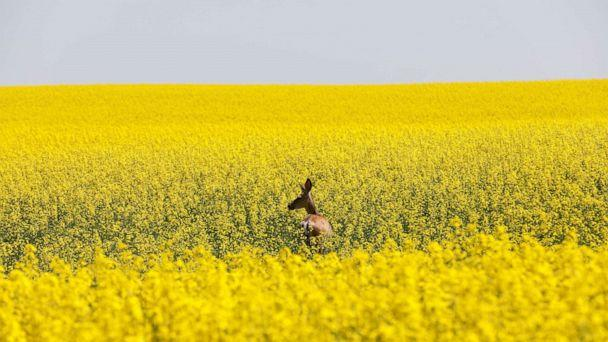 PHOTO: A deer feeds in a canola field that is in full bloom before harvest in rural Alberta, Canada, July 23, 2019. (REUTERS/Todd Korol/File Photo)