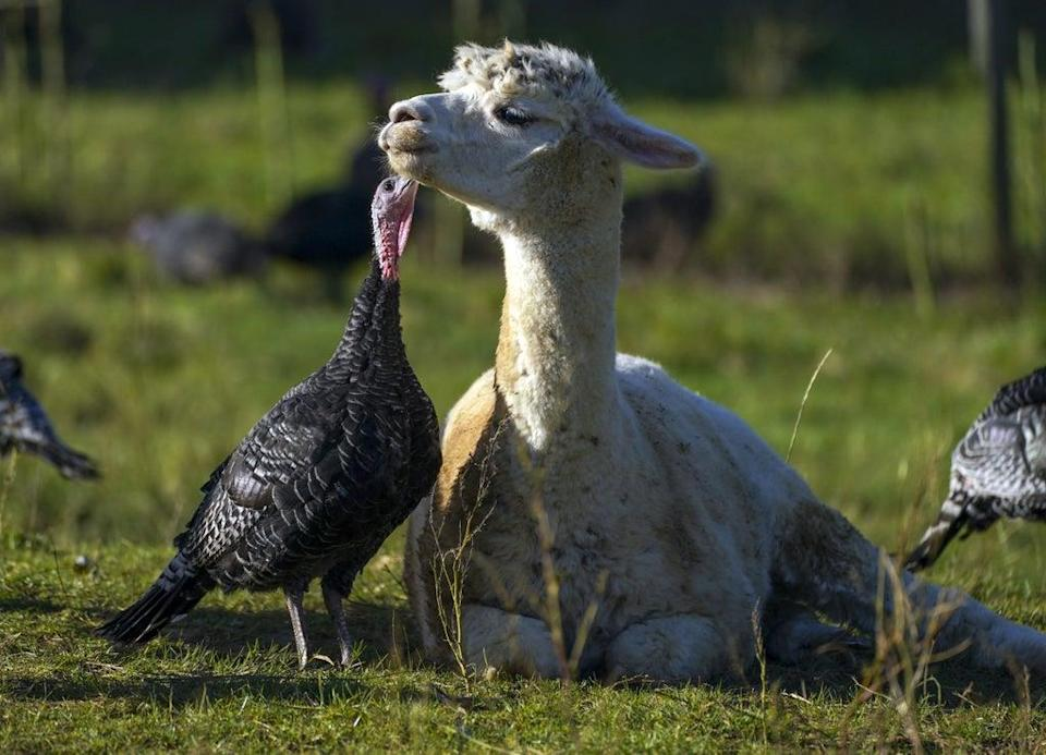 Turkeys are guarded from foxes by alpacas at Copas Traditional Turkeys farm in Cookham, near Maidenhead (Steve Parsons/PA) (PA Wire)