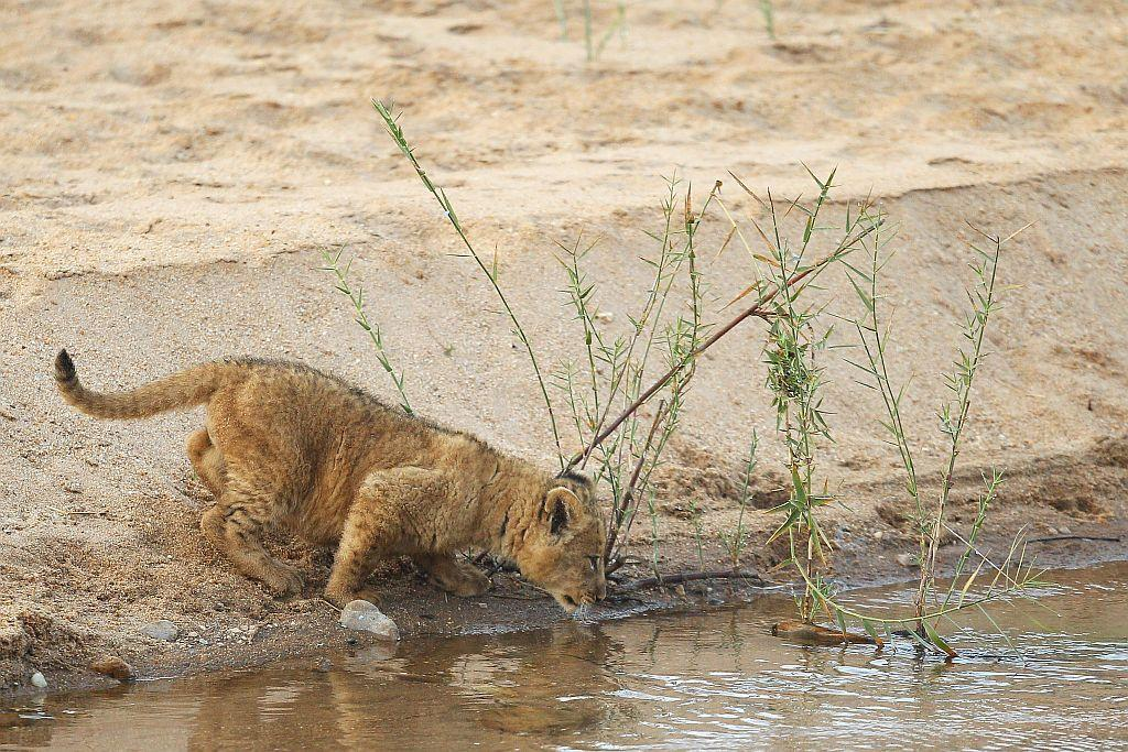 A lion cub drinks at the bank of the Makhutswi River at sunrise in the Edeni Game Reserve near Kruger National Park in South Africa.