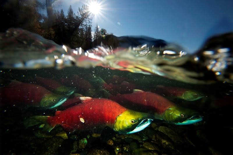 Sockeye returns plunge in B.C., official calls 2019 'extremely challenging'
