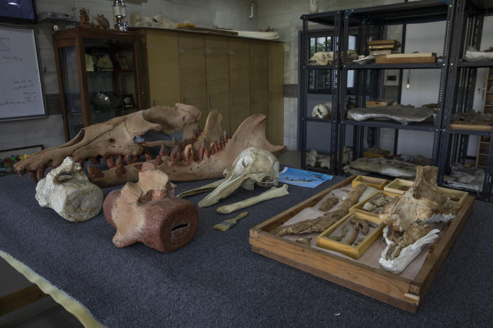 """The fossils of a 43 million-year-old four-legged prehistoric whale known as the """"Phiomicetus Anubis,"""" right, in an evolution of whales from land to sea, which was unearthed over a decade ago in Fayoum in the Western Desert of Egypt, at the university's paleontology department lab, in the Nile Delta city of Mansoura, 110 kilometers (70 miles) north of Cairo, Egypt, Sunday, Sept. 12, 2021. (AP Photo/Nariman El-Mofty)"""