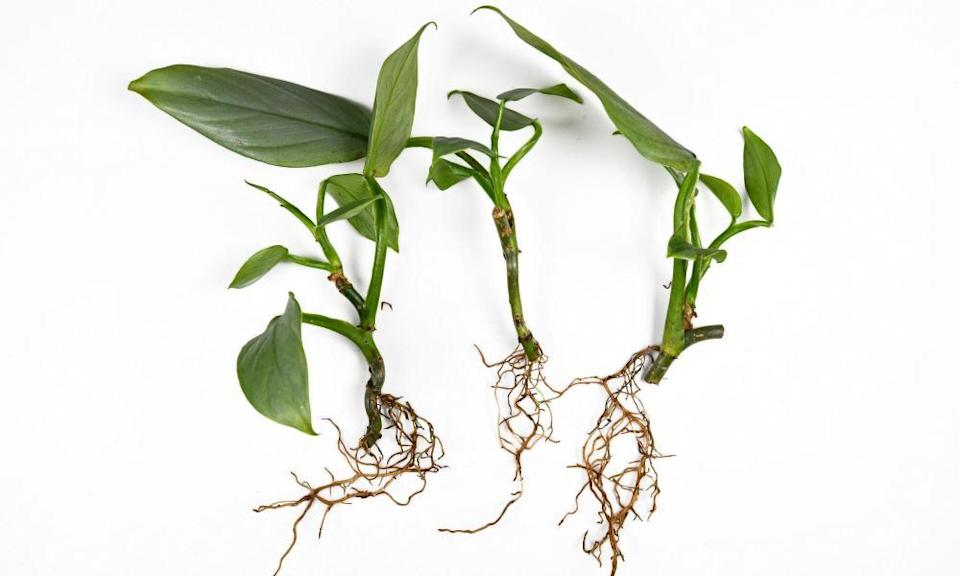 The root of the matter: the fragile roots of exotic houseplants before repotting.