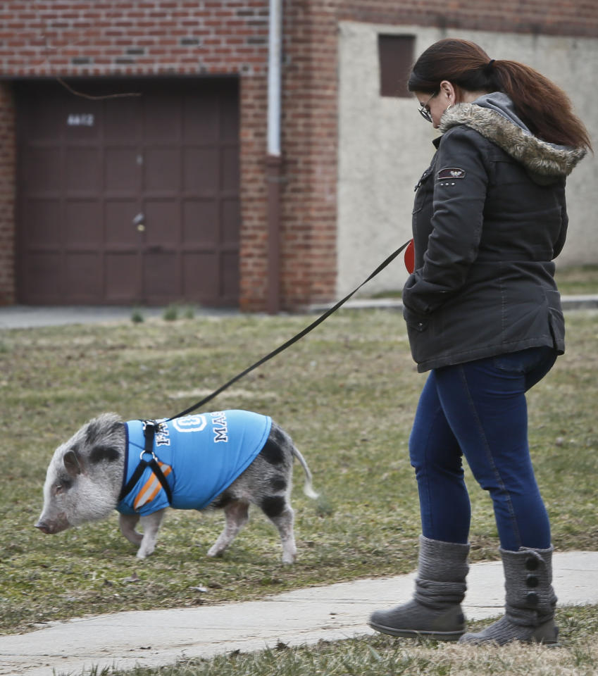 Danielle Forgione walks Petey, the family's pet pig, on Thursday, March 21, 2013, in the Queens borough of New York. Forgione is scrambling to sell her second-floor apartment after a neighbor complained about 1-year-old Petey the pig to the co-op board. In November and December she was issued city animal violations and in January was told by both the city and her management office that she needed to get rid of the pig. (AP Photo/Bebeto Matthews)