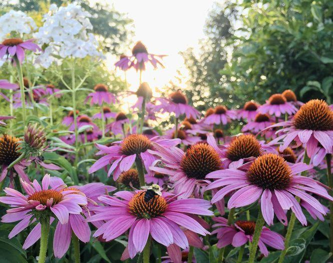 <p>Most often seen in dreamy butterfly gardens, echinacea flowers have been used in herbal medicine for centuries. They are particularly useful in teas to help combat colds or the flu. Both the leaves and petals are edible and make for a colorful garden.<br></p>