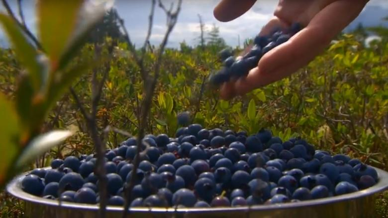 Record 2016 blueberry crops spark pricing concerns