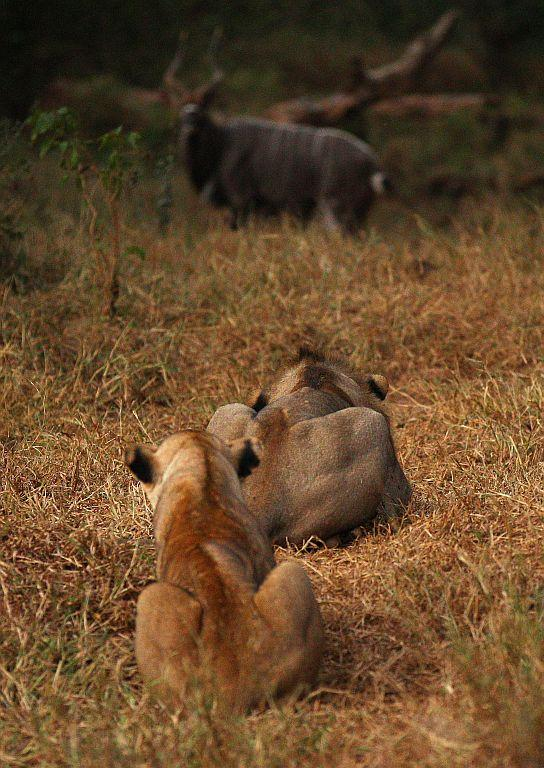 A lion stalks a large kudu at the Pafuri game reserve in Kruger National Park, South Africa.