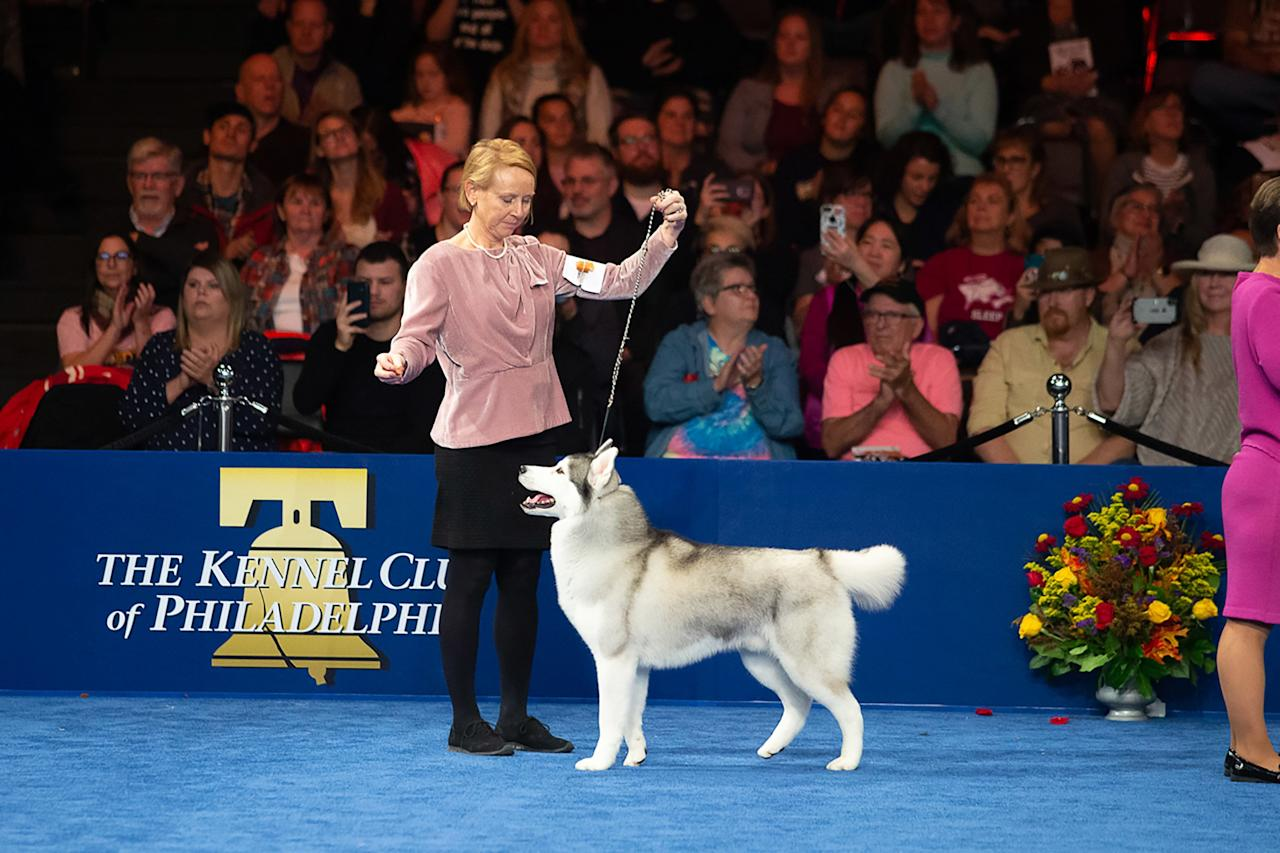 Nick the Siberian Husky was named number one in the Working Group before heading to the Best in Show round.