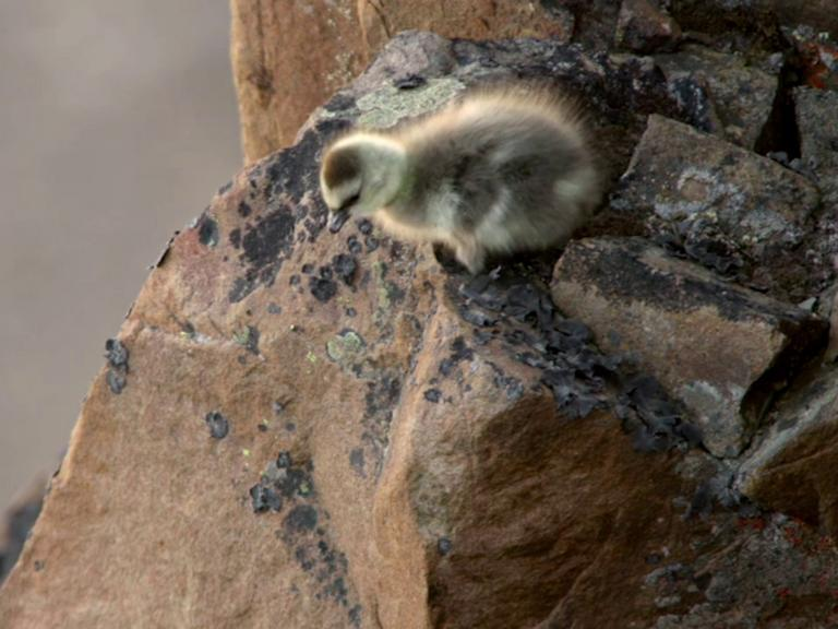 Bear Grylls' cameraman films day-old goslings jump off 400-feet cliff in search of food