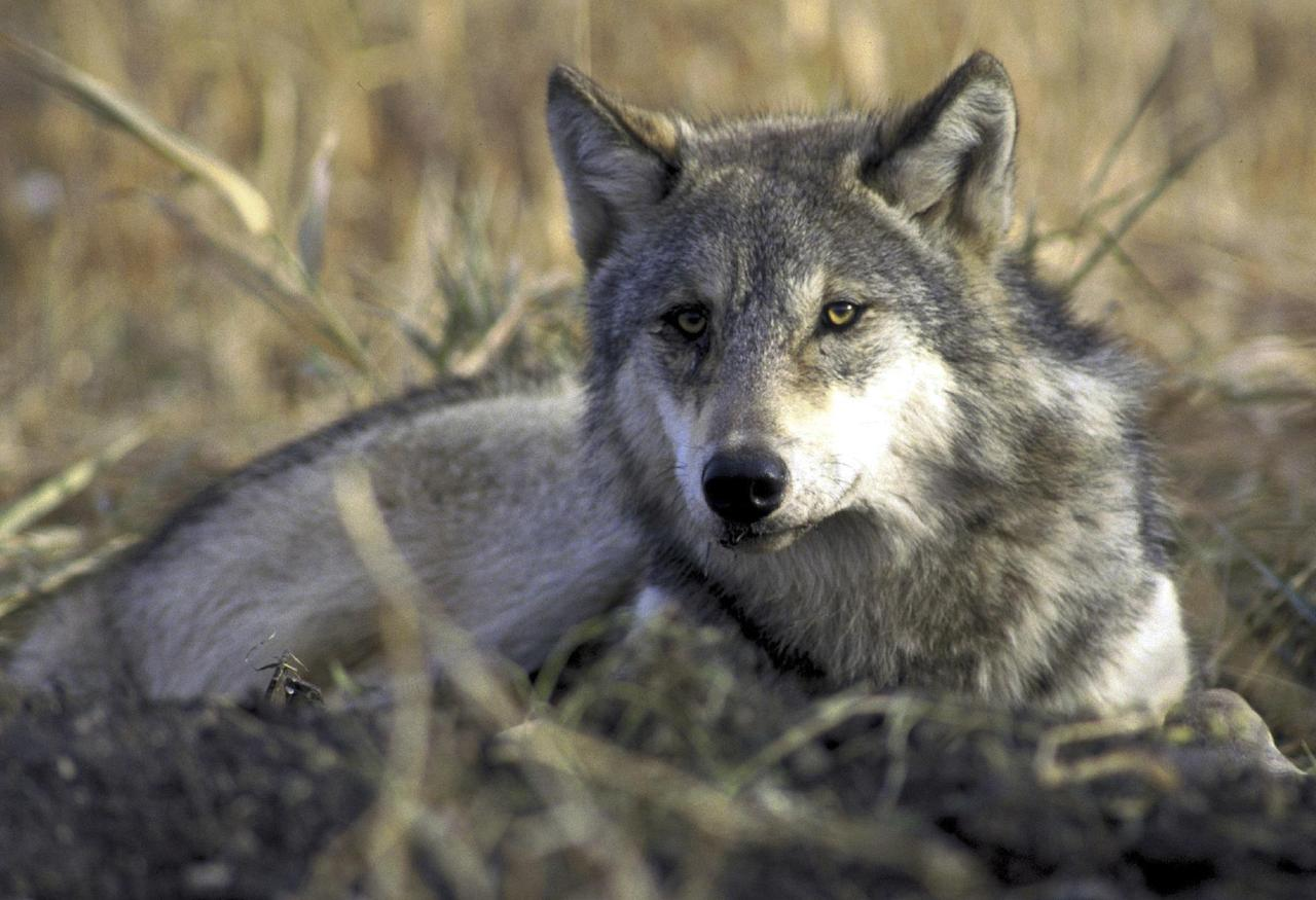 FILE - This undated file image provided by the US Fish and Wildlife Service shows a gray wolf resting in tall grass. With more than 150 gray wolves shot in the Northern Rockies so far this fall, a panel of federal judges will consider halting public wolf hunts. (AP Photo/US Fish & Wildlife, File)
