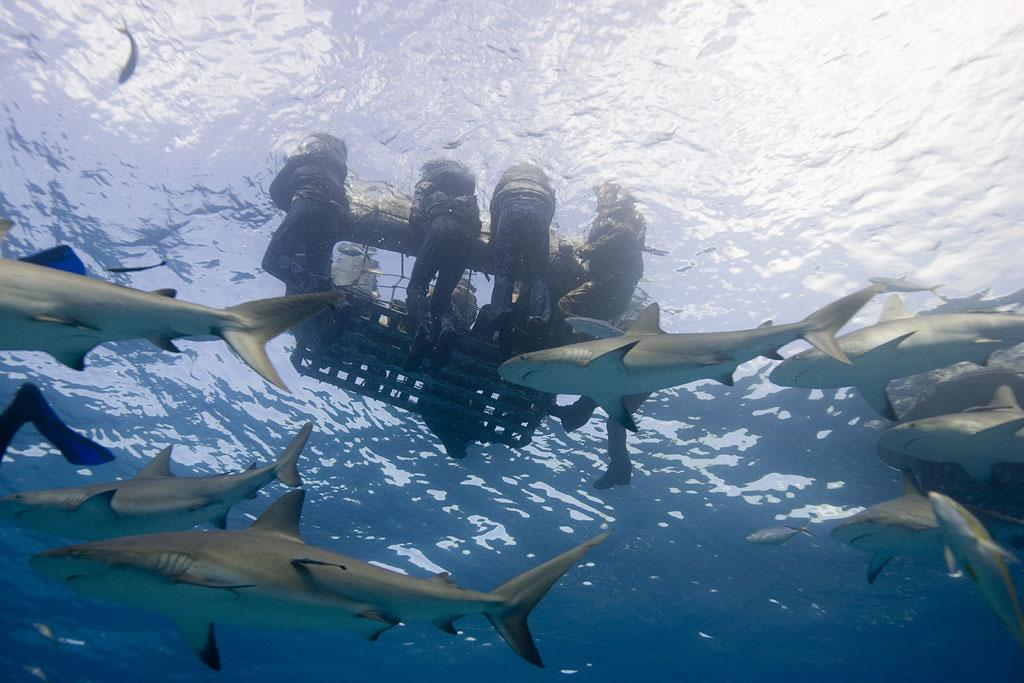 Reef sharks circle below the floating rafts of survivors in underwater reenactment scene after USS Indianapolis had been sunk by Japanese submarine. As seen on Ocean of Fear: Worst Shark Attack Ever.