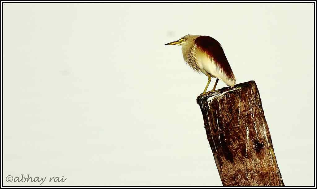 "Pond Heron at Kumarakom Bird Sanctuary <br>By <a target=""_blank"" href=""http://www.flickr.com/photos/abhayrai/"">abhay_mibm</a>"