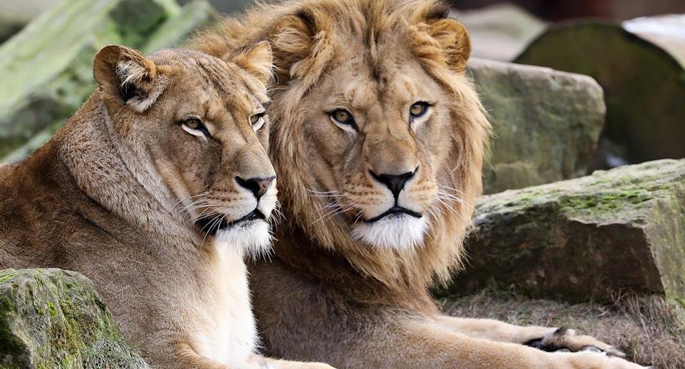 Two lions in German zoo enclosure.