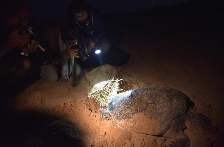 <p>Tourists take photographs of an Olive Ridley Turtle (Lepidochelys olivacea) as she lays her eggs in a hollow in the sand at Rushikulya Beach, some 140 kilometres (88 miles) south-west of Bhubaneswar, early February 16, 2017.<br /> Thousands of Olive Ridley sea turtles started to come ashore in the last few days from the Bay of Bengal to lay their eggs on the beach, which is one of the three mass nesting sites in the Indian coastal state of Orissa. / AFP PHOTO / ASIT KUMAR </p>