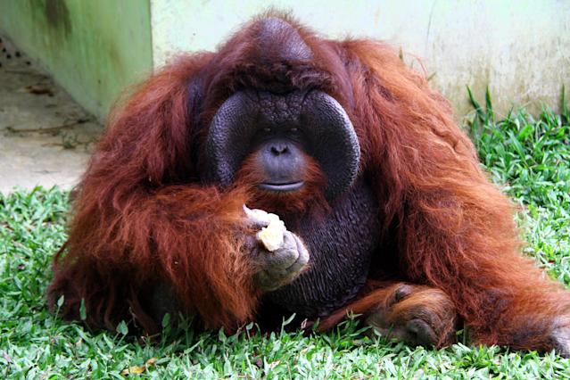 According to reports, 200-500 orangutans from Indonesian Borneo enter the pet trade each year.