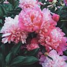 """<p>A late spring bloomer, a peony's large fluffy flowers come in a range of colors, sizes, and shapes. Plant bare-root specimens in a sunny spot in the fall for spring blooms.</p><p><a class=""""link rapid-noclick-resp"""" href=""""https://www.amazon.com/Mixed-Peony-Value-Bag-Pack/dp/B085FPWZFC/ref=sr_1_5?tag=syn-yahoo-20&ascsubtag=%5Bartid%7C10050.g.32157369%5Bsrc%7Cyahoo-us"""" rel=""""nofollow noopener"""" target=""""_blank"""" data-ylk=""""slk:SHOP NOW"""">SHOP NOW</a></p>"""