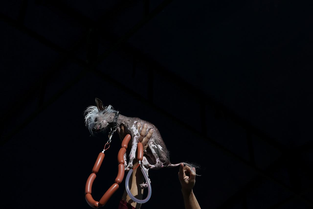 PETALUMA, CA - JUNE 21: Rascal, a Chinese Crested, is held up for the audience during the 25th annual World's Ugliest Dog contest at the Sonoma Marin Fair on June 21, 2013 in Petaluma, California. Walle, a basset and beagle mix won the honor of being the world's ugliest dog. (Photo by Justin Sullivan/Getty Images)