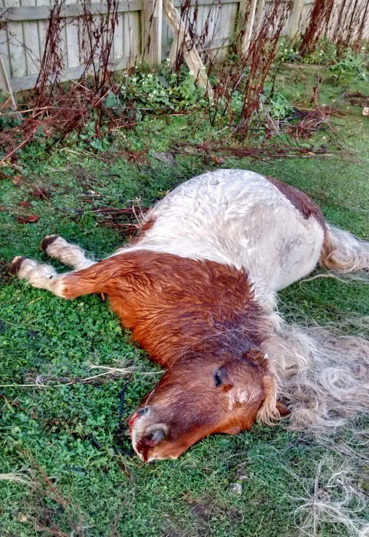A Shetland Pony has been mutilated and killed in a horrific attack