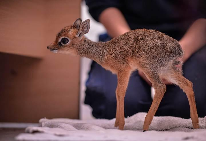 The baby antelope is just 19cm tall (PA)