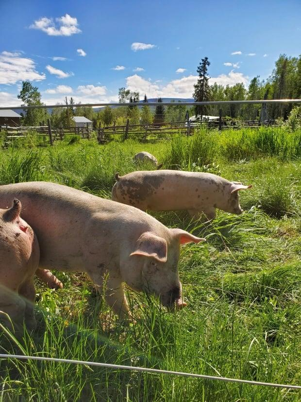 The Na-Cho Nyak Dun First Nation acquired what was once known as the Partridge Creek Farm,near Mayo, Yukon, in 2018 and it's been operational since last spring. The project has just received an Arctic Inspiration Prize worth $485,000.