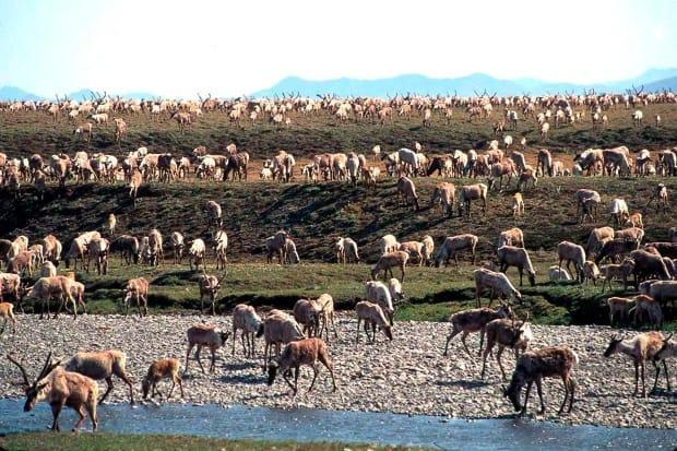 In this undated file photo provided by the U.S. Fish and Wildlife Service, caribou from the Porcupine Caribou Herd migrate onto the coastal plain of the Arctic National Wildlife Refuge in northeast Alaska.