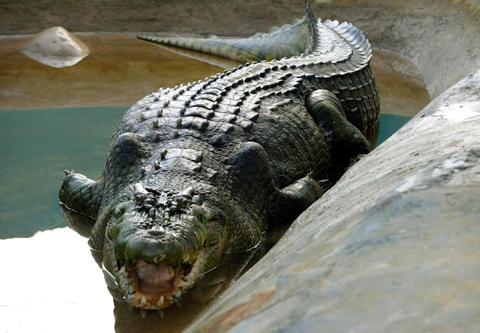 Lolong, a one-tonne 6.4-metre (21-foot) crocodile believed to be the biggest to have ever been caught, is seen in a caged pen in the southern Philippine town of Bunawan (AFP via Getty Images)