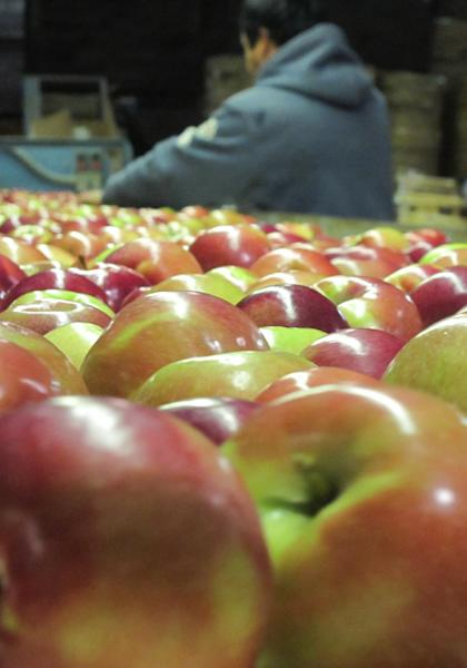 In this Nov. 7, 2013 photo apples move along a conveyor line in the King Orchards production warehouse in Central Lake, Mich. The state's apple producers had a bumper crop this year after bad weather caused disappointing yields in 2012. (AP Photo/John Flesher)