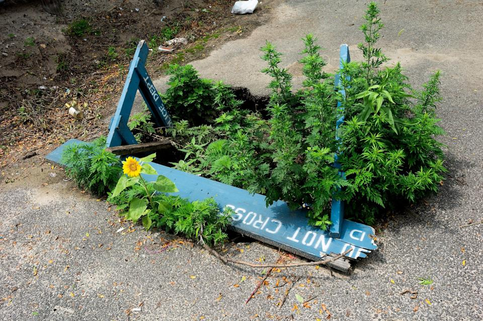 A blue police barricade is seen on a city street, partially covering a pothole that has greenery sprouting out of it.