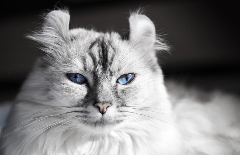 White American Curl cat with blue eyes. Closeup portrait