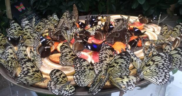 Butterflies feed on fruit at Victoria Butterfly Gardens in Central Saanich.