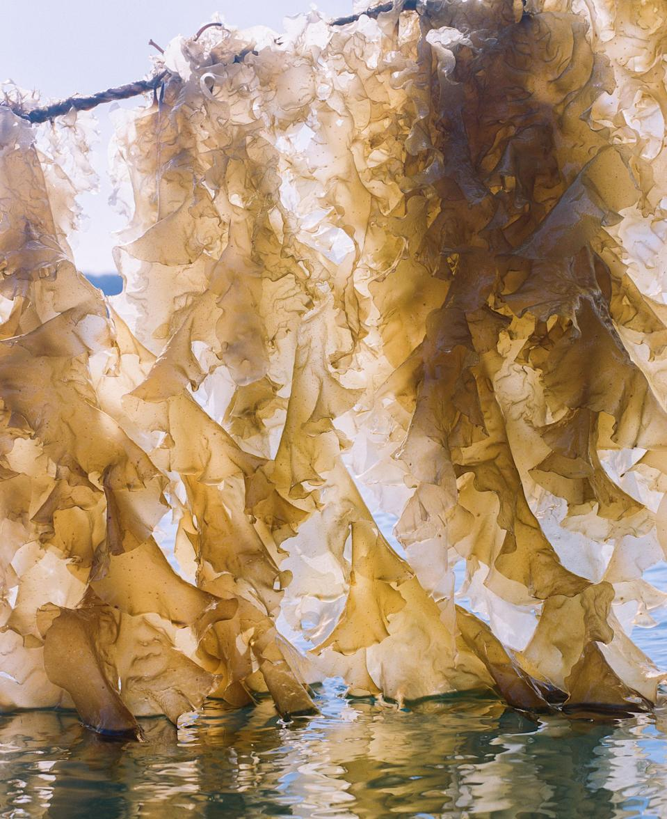 Sugar kelp at a harvesting site in Simpson Bay, about 10 miles from Cordova.