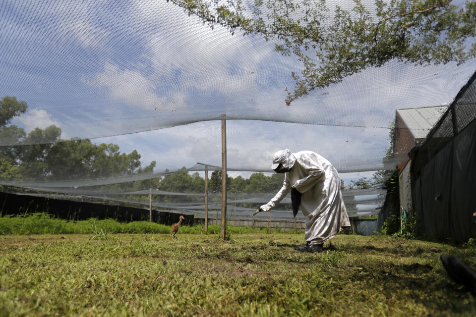 """FILE - In this June 21, 2018 file photo, a keeper wearing a """"crane suit,"""" to resemble an adult endangered whooping crane so the chick doesn't view humans as its flock, uses a crane-head hand-puppet to attract a recently hatched chick at the Audubon Nature Institute's Species Survival Center in New Orleans. The center usually """"costume-raises"""" a number of chicks. But because the coronavirus pandemic has cut money and staffing it will do so in 2020 only if adult whoopers at the center are doing poorly at raising chicks. (AP Photo/Gerald Herbert, File)"""