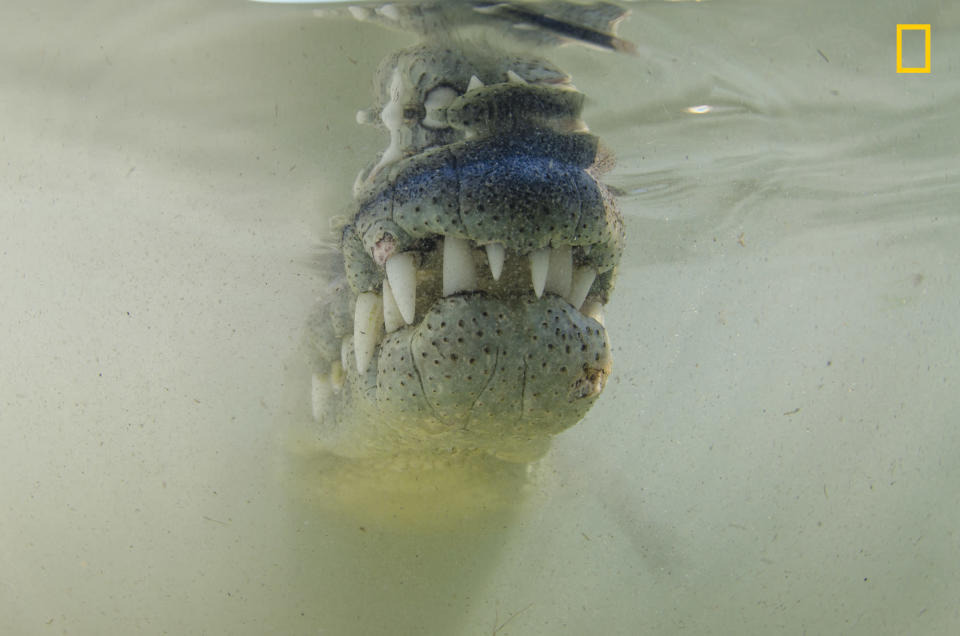 <p>An American crocodile appears from the silty murk of the water of a mangrove. (Gary Peart/National Geographic Nature Photographer of the Year contest) </p>