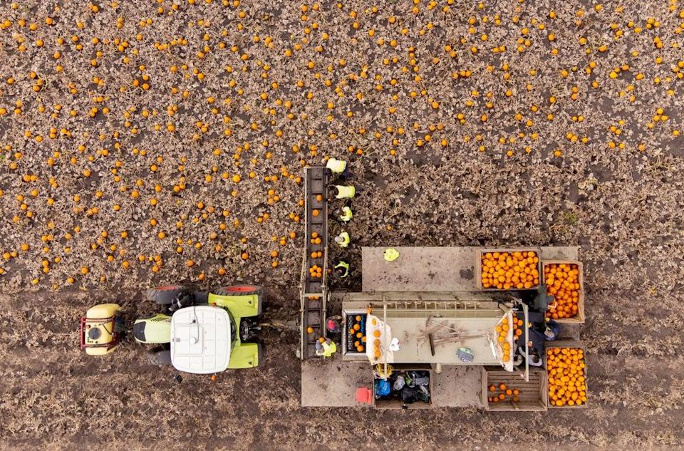 Workers harvest a field of pumpkins at Oakley Farms near Wisbech in Cambridgeshire, which supplies British supermarkets, including Tesco (Joe Giddens/PA) (PA Wire)