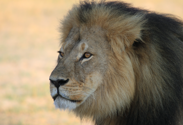 Cecil's death led to an international outcry (Picture: Rex)