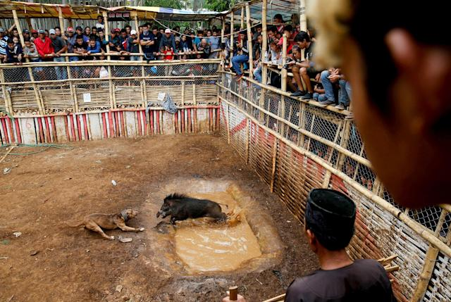 <p>Villagers stand on a bamboo stage to watch a fight contest between dogs and captured wild boars, known locally as 'adu bagong' (boar fighting), in Cikawao village of Majalaya, West Java province, Indonesia, Sept. 24, 2017. (Photo: Beawiharta/Reuters) </p>