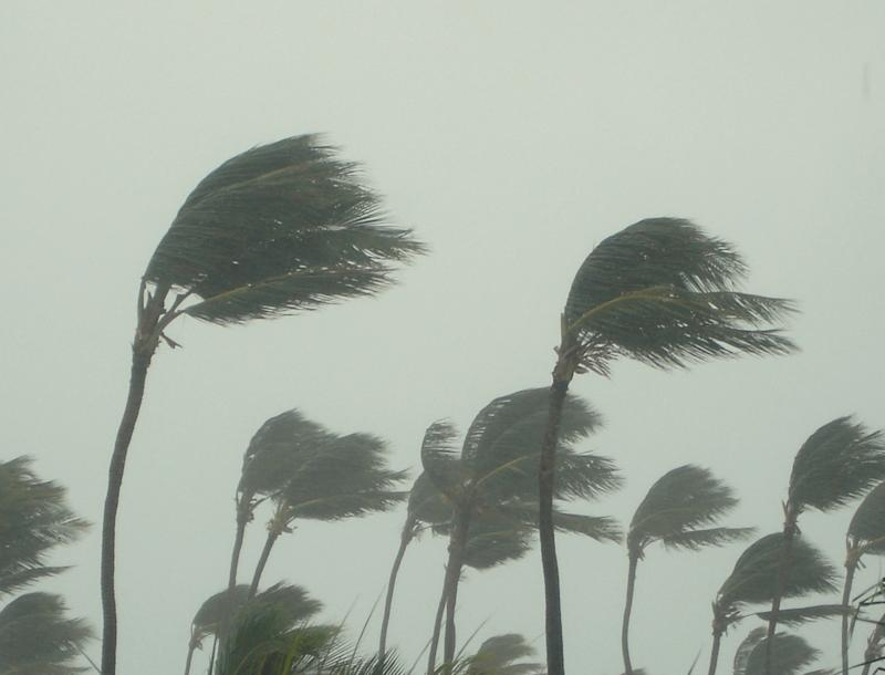 Tall palm trees being swept by wind.