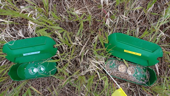 Two slug traps, the left one baited with water and the right with bread dough, used in recent research to better understand what foods best attract mollusks.