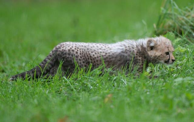 An 8-week-old cheetah cub, the first cub born at the park in ten years, explores her enclosure for the first time at Africa Alive in Suffolk. Picture date: Sunday October 3, 2021