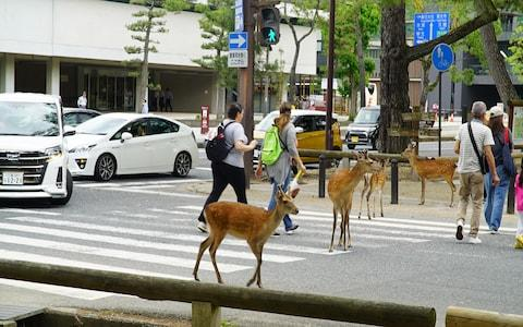 29 Nara deer died from traffic accidents in 2018 –it's easy to see why - Credit: Jeremy Holden
