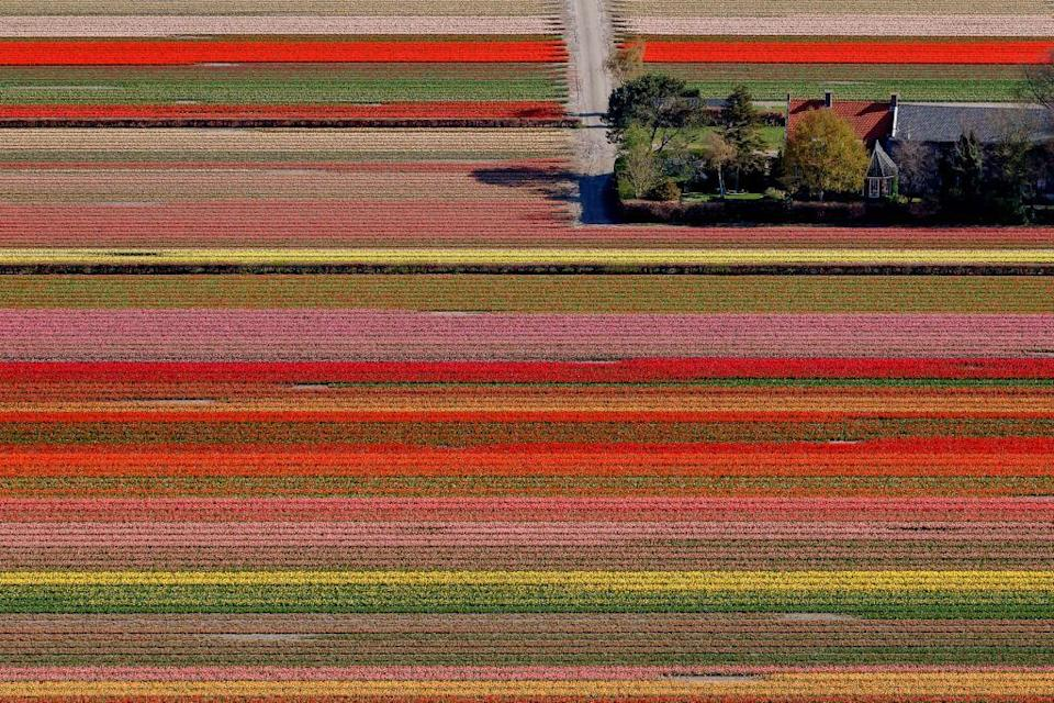 <p>Tulip fields at the Keukenhof Gardens, one of the world's largest flower gardens, located in Lisse, Netherlands. </p>
