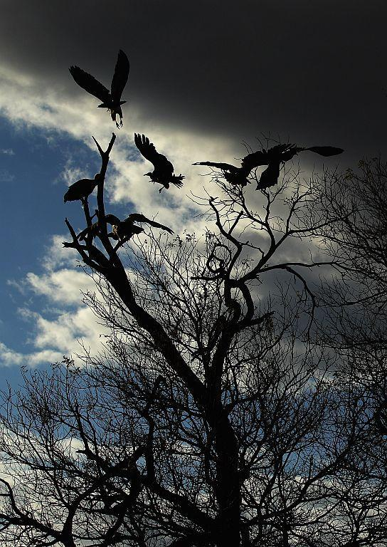 Vultures fly from a tree in Edeni Game Reserve near Kruger National Park in South Africa.
