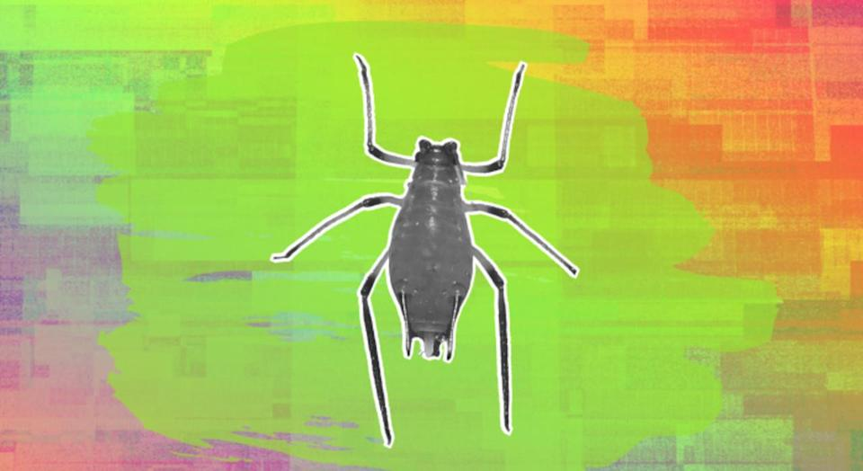 Scientists develop 'fear in a bottle' to ward off crop-eating insects