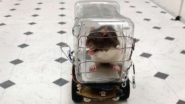 PHOTO: A lab rat drives the 'RatCar,' Oct. 1, 2019, in Richmond, Va. Scientists report successfully training the rodents to drive tiny cars in exchange for tasty bits of Froot Loops cereal, and found that learning the task lowered their stress levels. (University of Richmond via AFP/Getty Images)