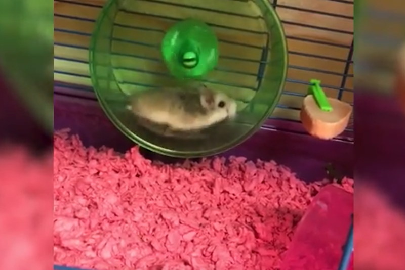 Pebbles pictured playing on its wheel